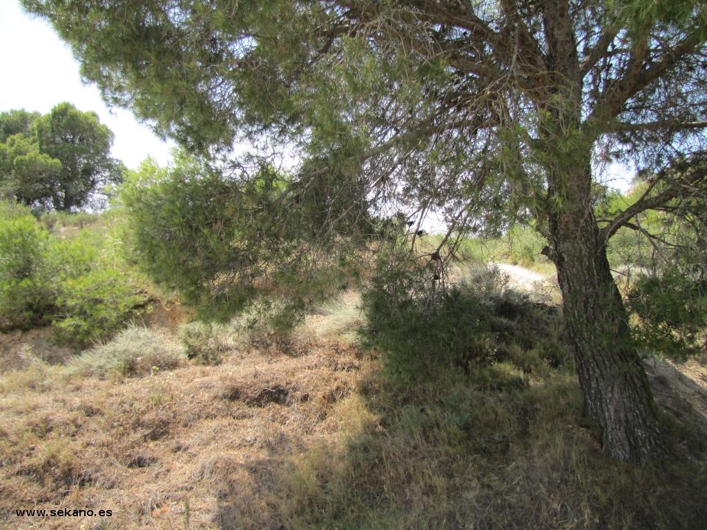 Sombra de Pinus halepensis